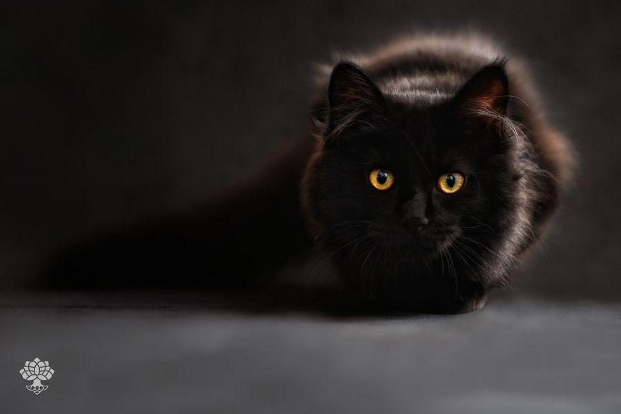 simpatia do gato preto